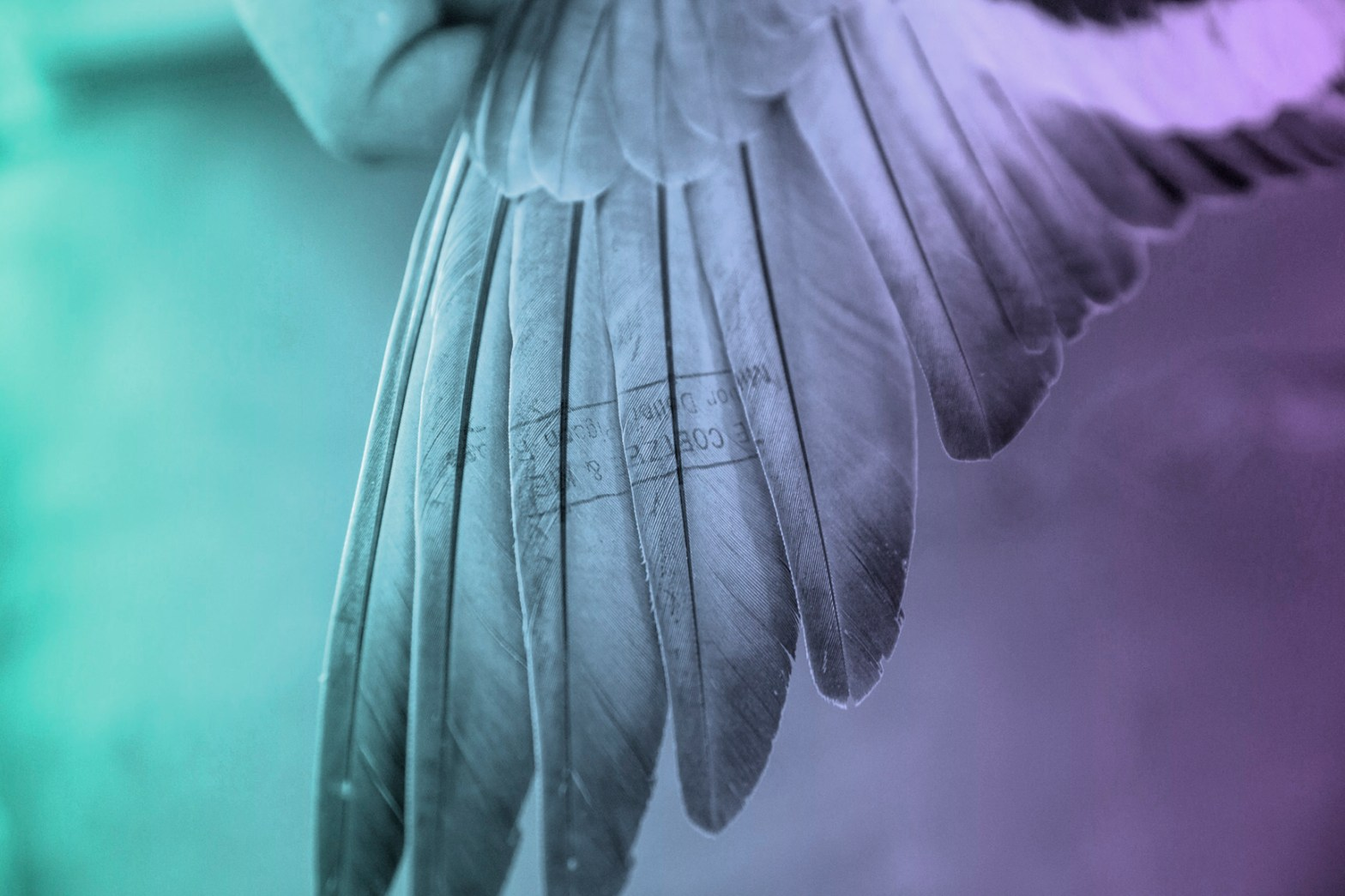 pigeonphoto-1438355275-36.jpg